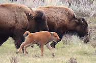 American Bison (Buffalo) cows and newborn calf running in Habitat