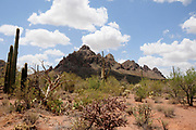 Saguaro cactus bloom, Sonoran Desert, Ironwood Forest National Monument, Eloy, Arizona, USA.