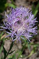 Basket Flower, Centaurea americana, Austin County, TX