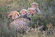 A mother cheetah shares a tender moment with her three young cubs.  We came across this mom and cubs while she was nursing them.  It was later in the morning and she was looking around for a better place to hide.  She got up we watched as she carefully lead her cubs to this shady spot with taller grass to hide in.