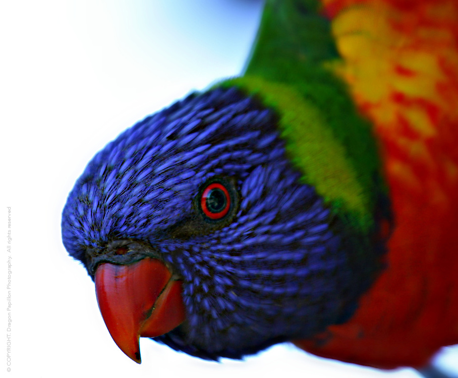 closeup australian rainbow lorikeet