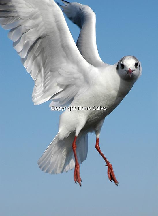 Portrait of Seagull in flight © Nano Calvo - VWPics.com