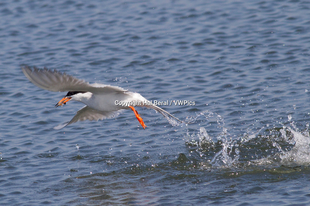 Forster's Tern emerges from a dive underwater with a splash and a fish in it's bill<br /> (Sterna forsteri)<br /> Bolsa Chica Wetlands, California