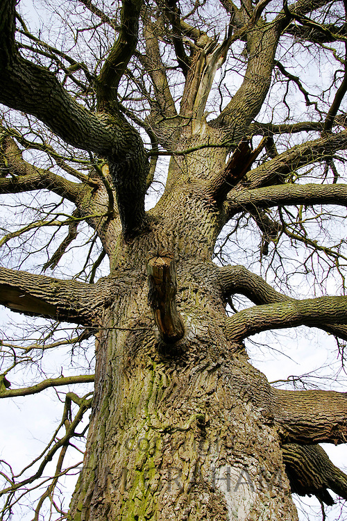 Dead oak tree, Sherbourne, Gloucestershire, United Kingdom