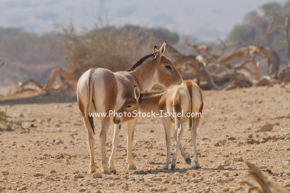 female and young Onager (Equus hemionus). Part of a breeding nucleus of Wild Asian Asses at a reacclimation centre Yotvata Hai-Bar Nature Reserve, Israel