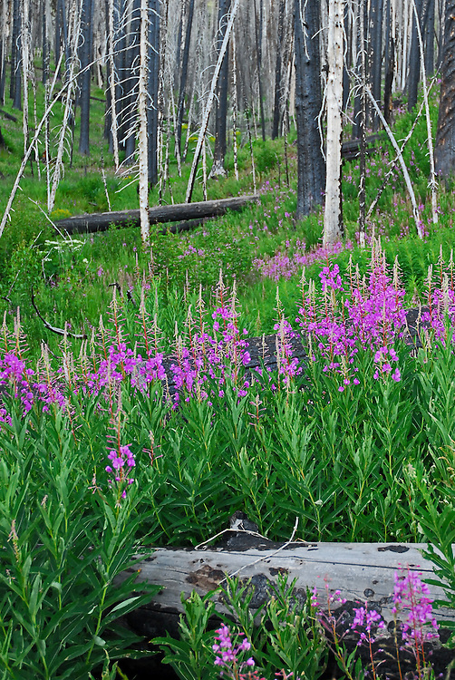 Fireweed lives up to its name by quickly spreading through areas of burned forest, including this spot near Yellowstone Lake destroyed by wildfires in 2003.