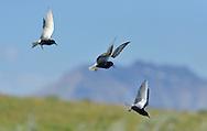 American Black Tern - Chlidonias niger surinamensis - Summer
