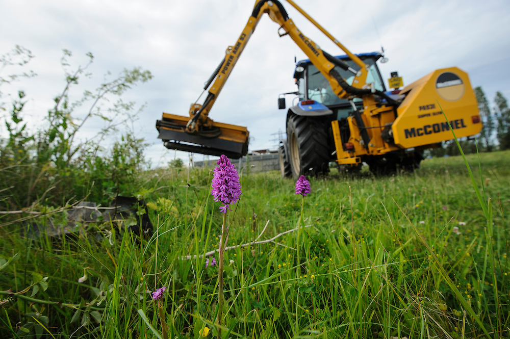 Pyramidal Orchid, (Anacamptis pyramidalis), on brownfield site being cleared for development. Kent, UK