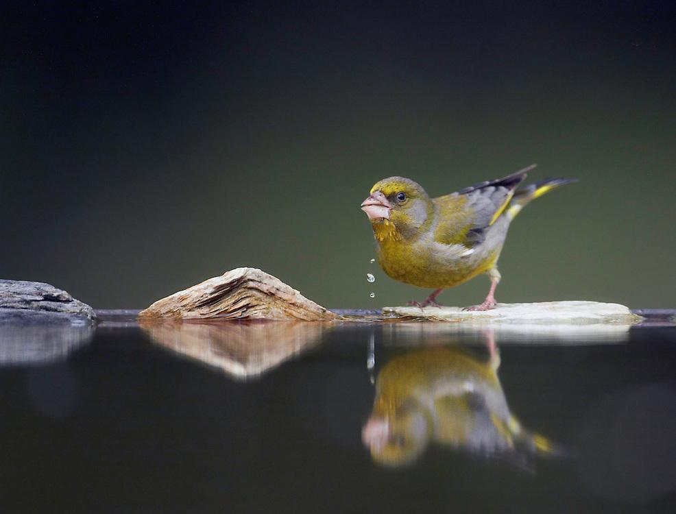 Greenfinch (Carduelis chloris) Pusztaszer Nature Reserve, Hungary
