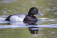 Greater Scaup - Aythya marila - male