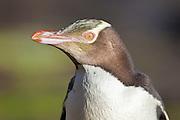 Yellow-eyed Penguin, New Zealand
