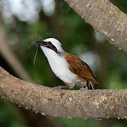 Garrulax leucolophus