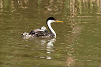 A female Western Grebe gives her two young chicks a ride on her back to the next fishing location.