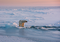 Polar bear (Ursus maritimus) in April in the pack ice at 80 degree North, Svalbard, Norway