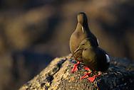 Black guillemot, courting pair, Flatey, Iceland.