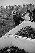 Grape Harvest 2017