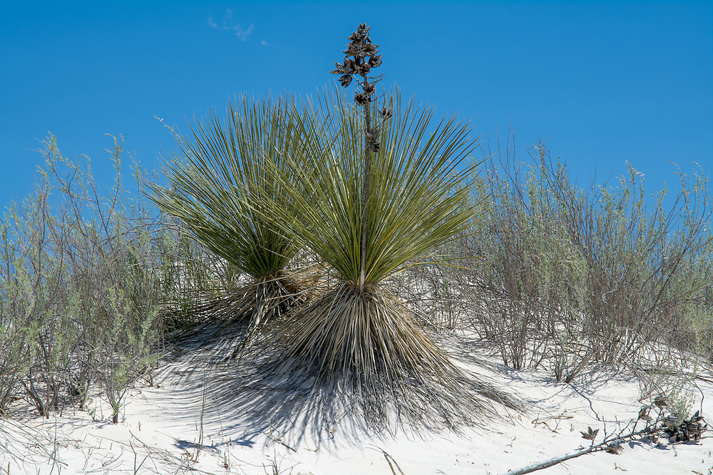 A common yucca of the Chihuahuan desert, the soapweed yucca is and was a significantly important plant for the Native American tribes inhabiting the area where it is found. A common yucca of the Chihuahuan desert, the soapweed yucca's fibrous leaves were used use to make belts, cloth, baskets, cords and mats, the roots were used to make a natural soap - hence the common name.