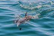 Short-beaked common dolphin swimming  with  its fin out of the water