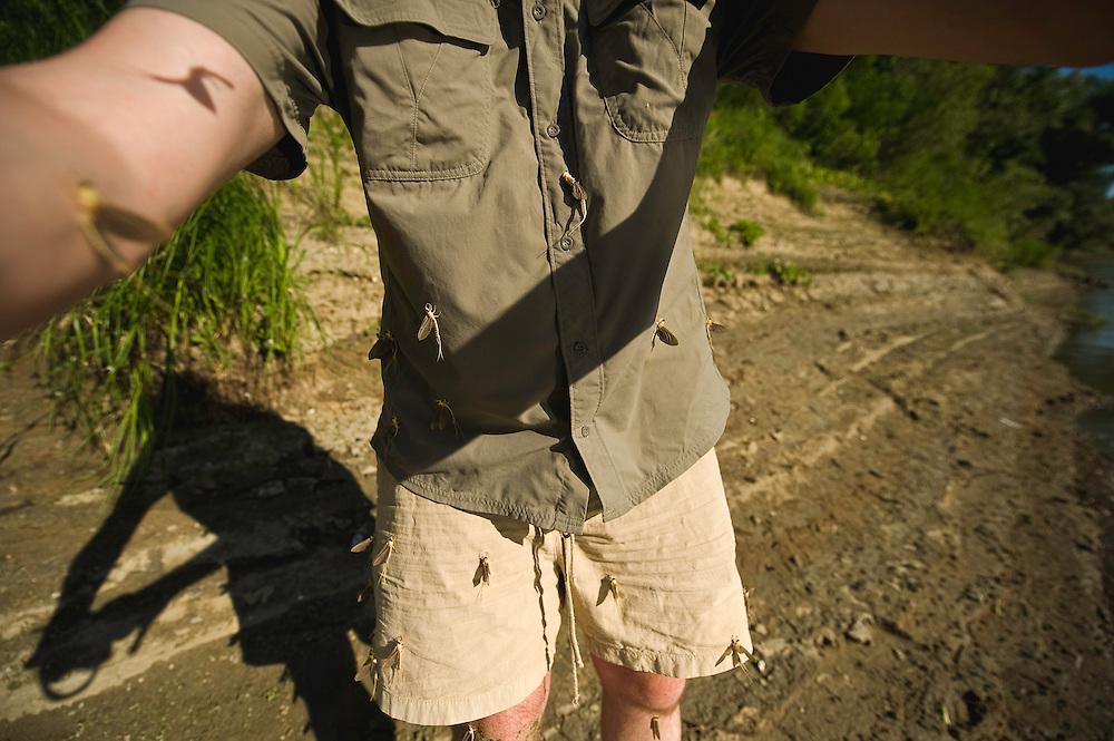 Mayflys (Palingenia Longicauda) molting on the body of the photographer, June 2009. the river Tisza, Hungary