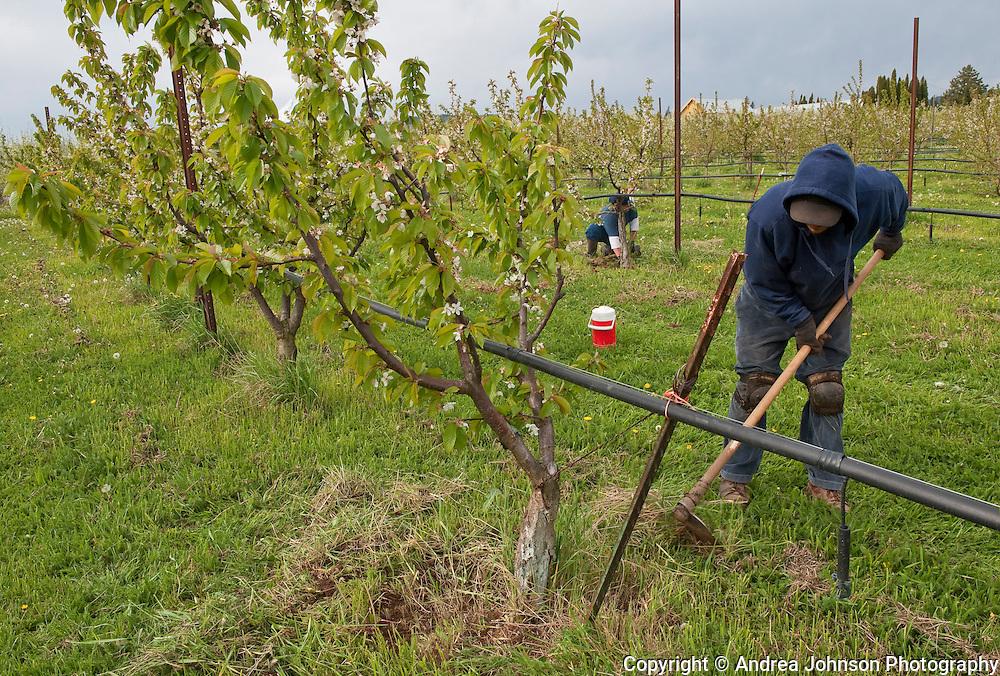 Columbia Gorge Organics, Apple orchards, Hood River, Oregon