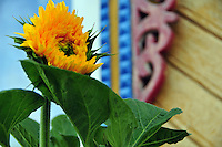 """A sunflower brightens the morning outside a traditional house in Uglich, Russia. As one of Russia's """"Golden Ring"""" cities, Uglich is designated a town of significant cultural importance."""