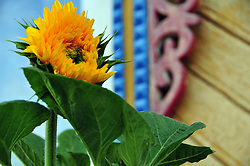 "A sunflower brightens the morning outside a traditional house in Uglich, Russia. As one of Russia's ""Golden Ring"" cities, Uglich is designated a town of significant cultural importance."
