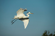 Great Egret (Ardea alba)<br /> Little St Simon's Island, Barrier Islands, Georgia<br /> USA<br /> HABITAT & RANGE: Distributed across most of the tropical and warmer temperate regions of the world.