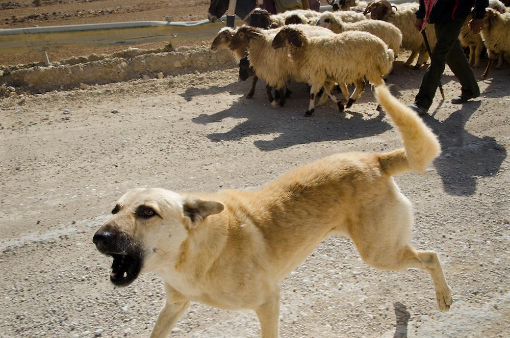 A dog defends a herd of bedouin sheep, near Dana, Jordan.