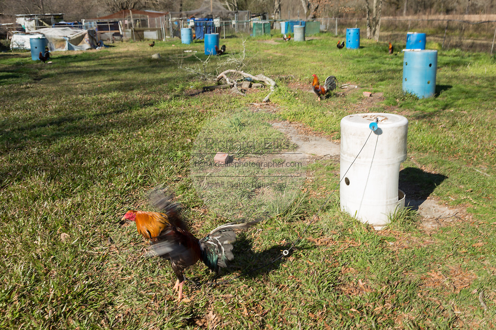 Fighting roosters raised in a cockfighting farm on the Coushatta Tribe reservation in rural Elton, Louisiana. Cockfighting was banned in Louisiana in 2008, the last state in the nation to outlaw the practice.