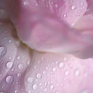 Tea Rose with dew drops close up.