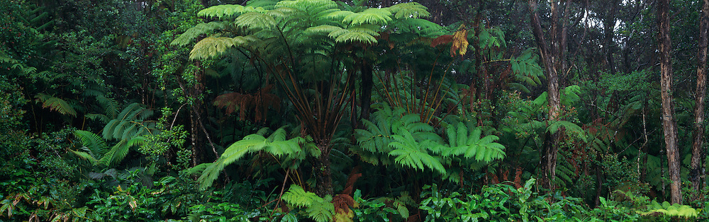 Ama'u Fern, HVNP, Island of Hawaii<br />