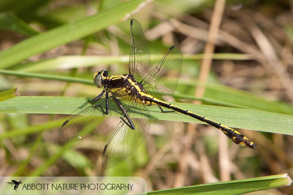 Dromogomphus spinosus (Black-shouldered Spinyleg) - male<br /> MISSOURI: Franklin Co.<br /> Creek @ Hwy K<br /> N38.24061 W91.01791  19.June.2009<br /> J.C. Abbott #2402