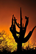 Saguaro cactus (Carnegiea gigantea) seen at sunset grow along Bear Canyon Trail, Coronado National Forest, in the Sonoran Desert,Tucson, Arizona, USA.