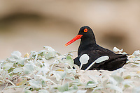 African Black Oystercatcher nesting, De Hoop Natue Reserve, Western Cape, SOuth Africa