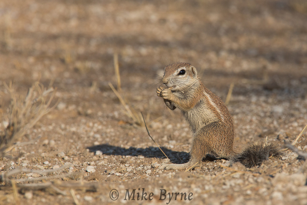 Ground squirrel in Erindi, Namibia.