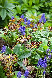 Primula 'Gold Lace Group' with Muscari armeniacum