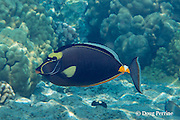 orangespine unicornfish or umauma lei, Naso literatus, Kahaluu Beach Park, Keauhou, Kona, Hawaii ( Big Island ), Hawaiian Islands ( Central Pacific Ocean )
