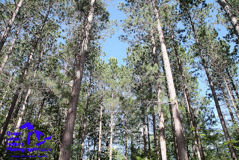 This stand of pine trees in the Manistee National Forest reaches higher and higher, toward the sun.