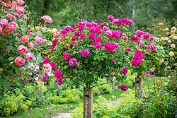Rosa 'Young Lycidas' syn. 'Ausvibrant' growing as a standard