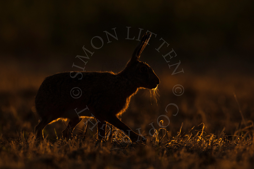 European Hare (Lepus europaeus) adult, silhouetted at dusk in mown hay meadow, Norfolk, UK.
