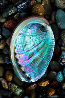 While beachcombing at a cobblestone beach in La Jolla I photographed this vibrant colored baby abalone shell. Love taking pictures of the wide variety of seashells on the San Diego Beaches.