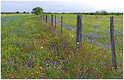 Blanketflowers (Gaillardia pulchellus), bluebonnets (Lupinus texensis), Drummond phlox (Phlox drummondii), and prickly poppies (Argemone albiflora v. texana), Llano County, TX / #HC286