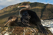 Flightless Cormorants (Phalacrocorax harrisi) on nest<br /> Muneco, Isabela Island. Western Isles of Galapagos Islands<br /> ECUADOR.  South America<br /> These are the largest of the world's 29 cormorant species and the only one that has lost the power of flight. They live very locally to the shores of Isabela and Fernandina Islands and although they can not fly still retain vestigial wings which help them to balance when jumping from rock to rock. As they do not produce much oil to waterproof their wings they must dry out their wings when they return to shore. Nests are constructed of seaweed, flotsam and jetsam and are never more than a few meters from shore. Usually up to 3 eggs are layed.<br /> ENDEMIC TO GALAPAGOS