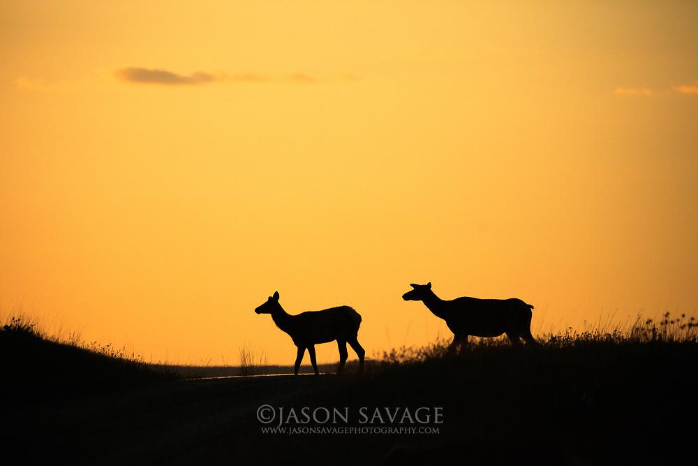 Elk at sunset.