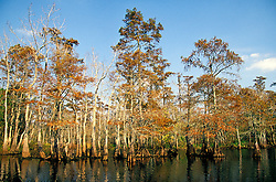 Sheldon (east of Houston):  Fall colors the cypress trees in this Big Thicket area swamp.