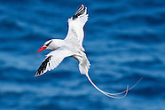 Red-billed Tropicbird photos