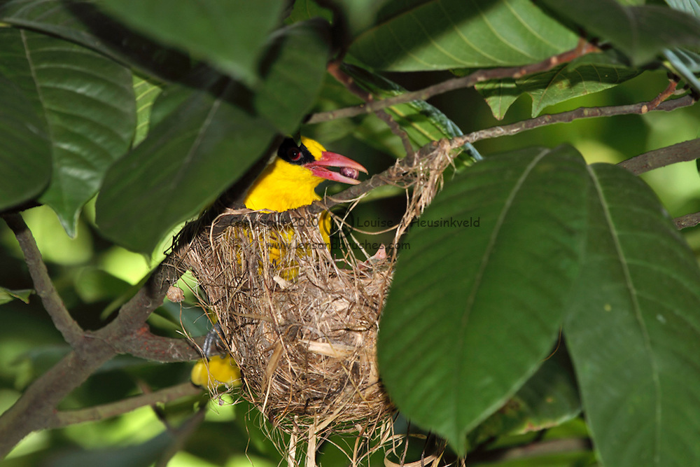 Black-naped Oriole, Oriolus chinensis, bringing food to chicks in nest