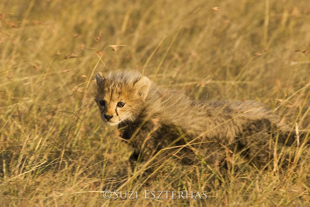 Cheetah<br /> Acinonyx jubatus<br /> Six week old cub in long grass<br /> Maasai Mara Reserve, Kenya