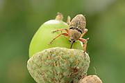 Female Acorn weevil (Curculio glandium) , The Biosphere Reserve 'Niedersächsische Elbtalaue' (Lower Saxonian Elbe Valley), Germany | Das Weibchen des Gewöhnlichen Eichelbohrers (Curculio glandium) versenkt beim Bohren des Eiablage-Lochs fast den gesamten Rüssel in der Eichel. Die Antennen werden dabei nach hinten angelegt und die Krallen an den Fußspitzen sorgen für sicheren Halt auf der glatten Frucht. Tief im Kern wird der Käfer ein bis mehrere Eier ablegen, aus denen nach etwa zwei Wochen Entwicklungszeit die Larven schlüpfen.