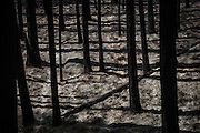 The remains of a forest burned by the Rim Fire just outside Yosemite National Park, California, August 24, 2013. The Rim Fire burned 257,314 acres and is the third largest wildfire in California history.